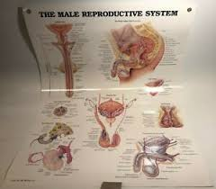 Laminated Anatomy Charts Details About The Male Reproductive System Anatomical Chart Laminated