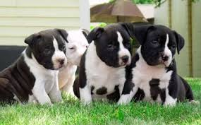white pitbull terrier puppies.  Terrier Photos Of Black And White Pitbulls  Black And White American Pitbull  Terrier Puppies In A