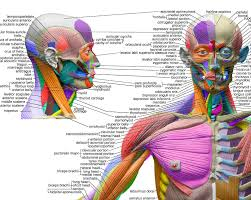 Human Anatomical Chart Muscular System Anatomy Wall Poster Sorry Out Of Stock Please Back Order