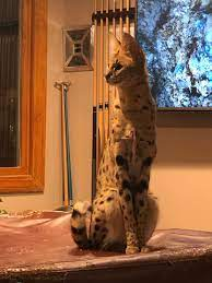 40-pound African serval cat on the loose in New Hampshire - UPI.com