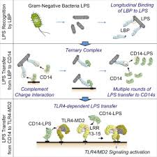 Reconstruction of LPS Transfer Cascade Reveals Structural Determinants  within LBP, CD14, and TLR4-MD2 for Efficient LPS Recognition and Transfer -  ScienceDirect