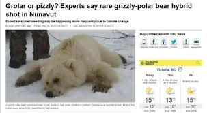 grolar bear size grolar polarbearscience