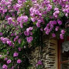Growing Blaze Climbing Rose Wall Climbing Plants For Shade