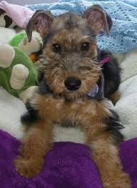 brown terrier mix puppies. Beautiful Puppies With Brown Terrier Mix Puppies D
