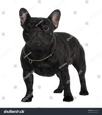 French Bulldog 2 Years Old Standing ...