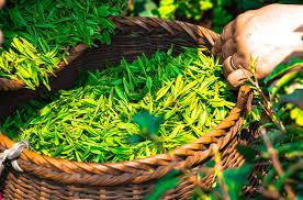 #GREEN TEA HAIR LOSS, #GREEN TEA FOR HAIR LOSS, #GREEN TEA FOR HAIR, #GREEN TEA ON HAIR, #HOW TO USE GREEN TEA FOR HAIR LOSS, #GREEN TEA FOR HAIR GROWTH, #TEA FOR HAIR GROWTH