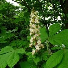 Aesculus hippocastanum   Online Atlas of the British and Irish Flora