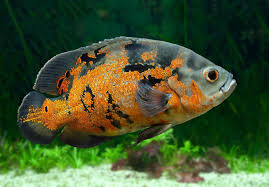 Oscar Fish Species Profile And Complete Care Guide