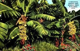 Kenya Lamu Archipelago Pate Island Banana Tree Bearing Fruit And Tree Bearing Fruit