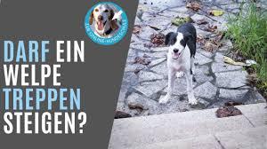 Das treppensteigen kann mit einem tier auf dem arm zur tortur werden. Wie Lange Soll Man Einen Welpen Junghund Auf Der Treppe Tragen Youtube