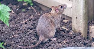 get rid of mice rats in your garden