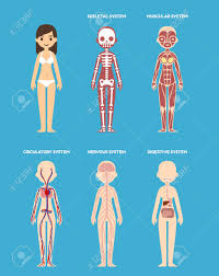 Stylized Female Body Anatomy Chart Skeletal Muscular Circulatory