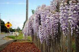 Last updated on 7 may, 2021. Medusa The Wisteria Goes Full Bloom Along Old Olympic Highway Sequim Gazette
