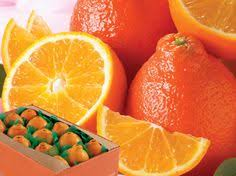 honeybells florida tangelos oranges gourmet honeybell florida oranges fruit gifts
