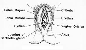 The History of the Female Reproductive System     Female Body Reproductive System Anatomy Of External Female Genitalia  External Female Reproductive