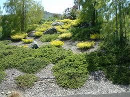 manzanita emerald carpet botanical name arctostaphylos emerald carpet golden breath of heaven