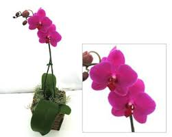 hot pink erfly orchid gift