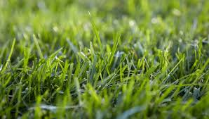 Grass Wall Lawn Solutions Australia Choose The Right Grass For Your Lawn