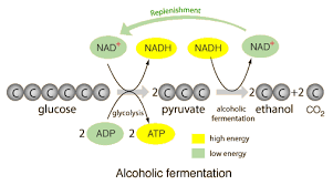 alcohol fermentation equation. alcoholic fermentation http://hyperphysics.phy-astr.gsu.edu/hbase/ alcohol equation