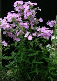 phlox zenith pp 27 266 has large 1¼ clear pink flowers in rounded open panicles from mid may through june the plants are about 30 tall and have very