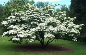Image result for ​The Pagoda Dogwood landscaping