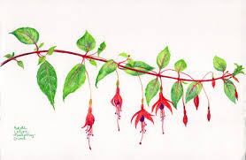 Small Picture Image Gallery of Fuschia Flower Drawing