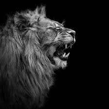 lion roaring black and white.  Roaring Black And White Animals 12 1 To Lion Roaring Black And White