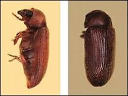 powder post beetles and