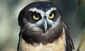 cute amazon rainforest animals. Amazon Rainforest Animals Spectacled Owl Inside Cute