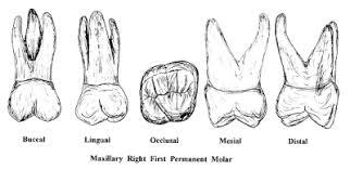 Maxillary Second Molar Molars Dentistry 511 With Garrett At University Of Maryland