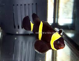 different colored clown fish. Fine Clown Purple Gold Stripe Maroon Clownfish With Different Colored Clown Fish