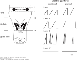 Types Of Breathing Patterns Chapter 9 Control Of Breathing Pulmonary Physiology 8e