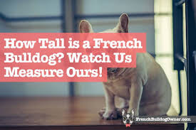 French Bulldog Height Chart How Tall Is A French Bulldog Height Measured Video