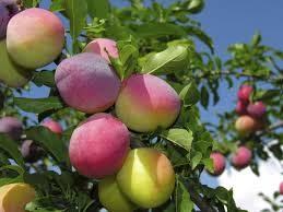 When To Prune Fruit Trees  Orchard People Fruit Tree Care Can You Prune Fruit Trees In The Summer