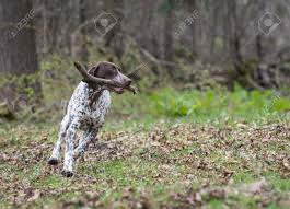 German Shorthaired Pointer Running With ...