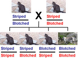 Cat Coats And Genes Understanding Genetics