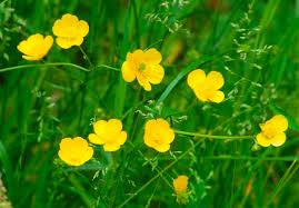 NaturePlus: Wildlife Garden blog: A good year for buttercups