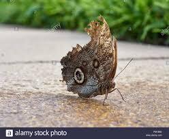 Caligo eurilochus, oder den Wald Riesen Eule Schmetterling ruht auf dem  feuchten Boden des Schmetterlingshaus im Botanischen Garten Meer Andrews,  Fife, Schottland Stockfotografie - Alamy