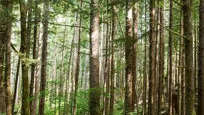 Forest Background 1 Hampton Lumber