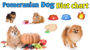 Pomeranian Weight Chart Pomeranian Dog Diet Chart In Hindi Pomeranian Dog Diet Plan