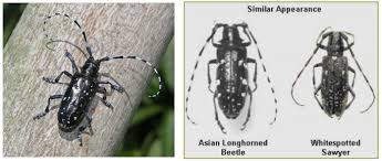 Asian Longhorned Beetle Trees Winnipeg