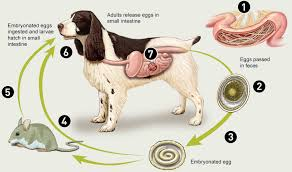 Hookworm Roundworm Whipworm Symptoms Worms In Dogs