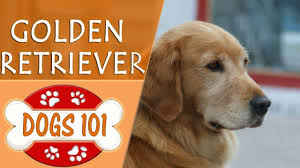Dogs 101 - GOLDEN RETRIEVER - Top Dog ...