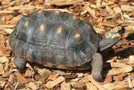 Red Footed Tortoise Wikipedia