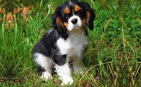 tricolor cavalier king charles spaniel puppies. Tricolor Cavalier King Charles Puppy Image In Spaniel Puppies