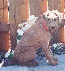 Irish Terrier Weight Chart Irish Terrier Dog Breed Information And Pictures