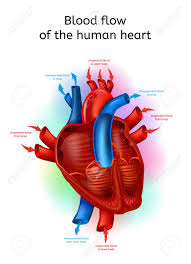 Human Blood Flow Chart Blood Flow In Heart Realistic Vector Scheme With Human Heart
