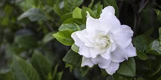 how to grow and care for gardenias