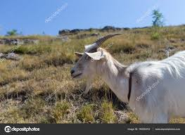 funny goat portrait against sunny meadow background photo by indigolotos