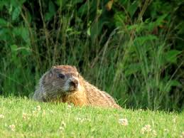 garden animals. Extraordinary Garden Animals With Groundhog